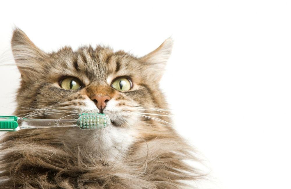cat dental hygiene tips from scottsdale cat clinic in arizona